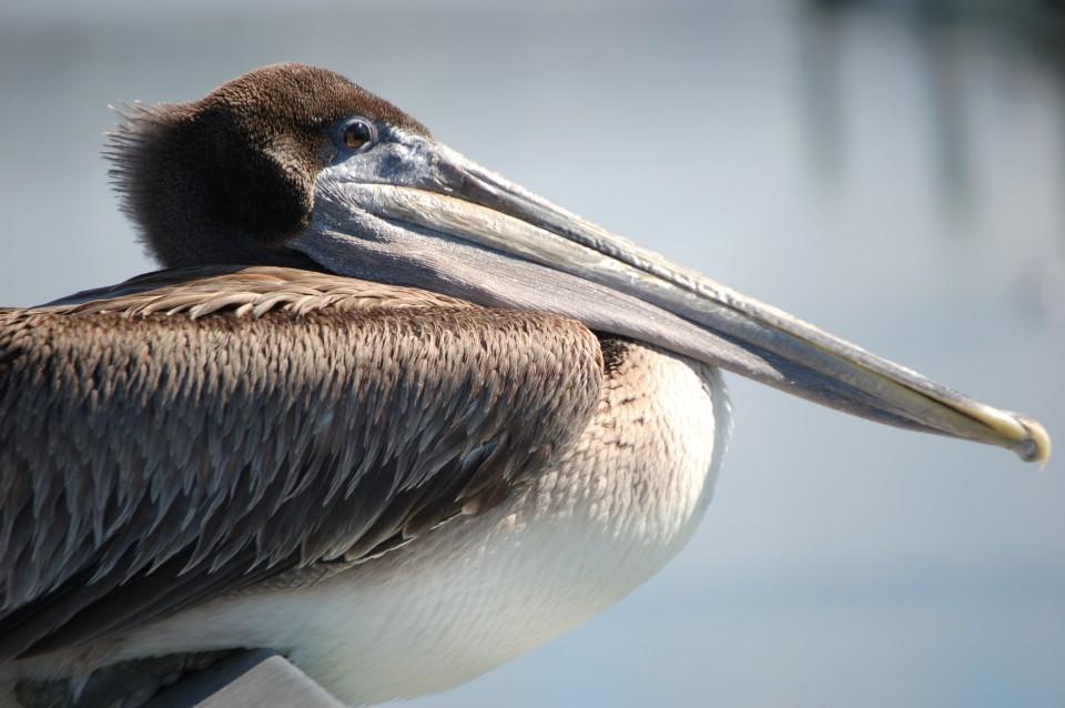 photo_pelican02